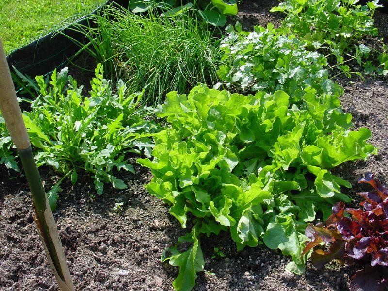 Choix des légumes pour mon potager de débutante